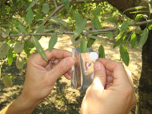 Measuring Stem Water Potential in Almonds PMS Instruments
