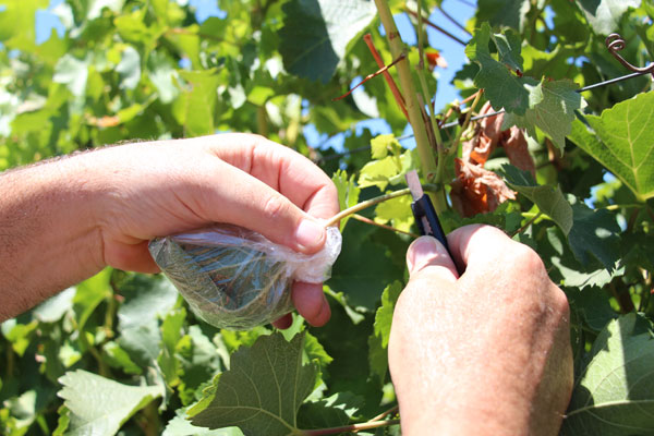 Measuring plant moisture stress in grapes