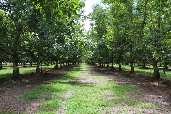 Measuring plant moisture stress in walnut trees