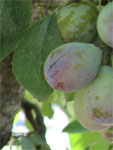 Measuring plant moisture stress in plum and prune trees